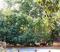 Mulberry tree image